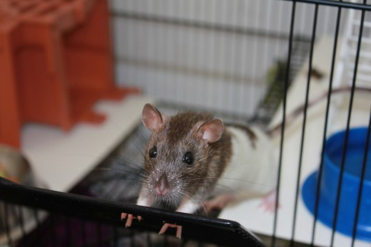 Cage selection is key! Make sure your rats have room to roam, but aren't able to squeeze out of their cage while you're away.