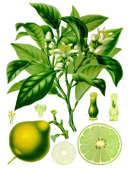 Illustration of bergamot leaves and oranges from Koehler's Medicinal-Plants 1887