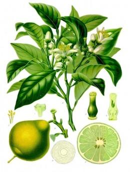 Illustration of bergamot leaves and oranges from Koehler's Medicinal-Plants 1887