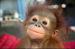 The Life of Orphaned Apes