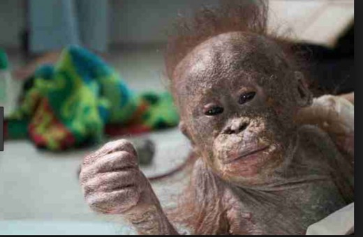A rescued orangutan orphan in Indonesia that suffered from a debilitating skin disease after being found in a card board box.