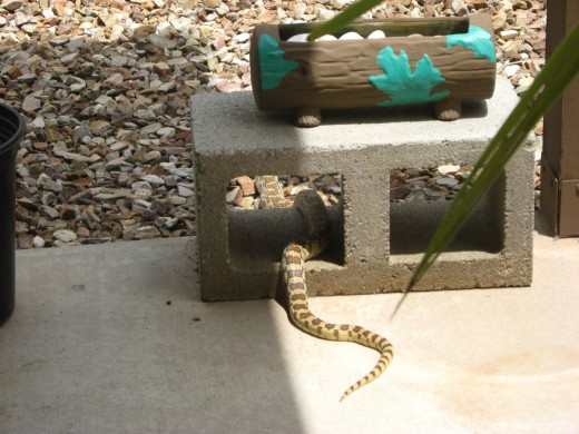 A Gopher Snake on our patio