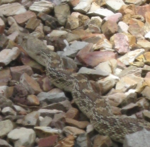 Gopher Snake's coloring blends in well with our yard's desert gravel landscaping