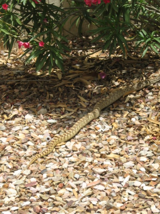 As thesnake advances toward the oleander bush in the back of the yard, my wife courageously ventures out for a better shot.