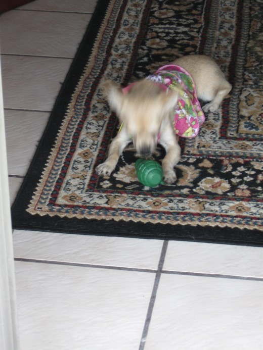Following her close encounter with the snake our little Chihuahua, Chika, arms herself with a plastic hand grenade
