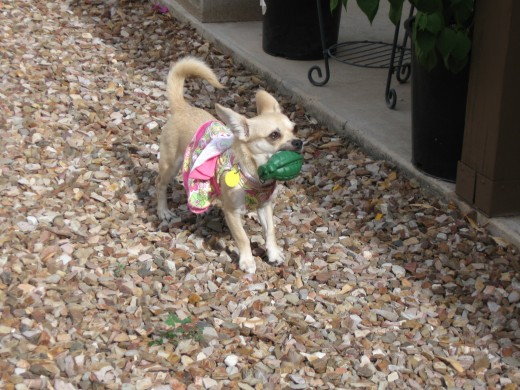 Our Little Chihuahua, Chica bravely patrols the backyard searching for dangerous snakes and armed only with a toy hand grenade