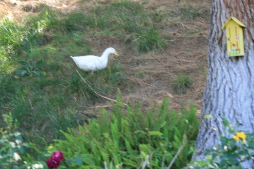 This is Daiseyduck,  she gets along fine with our dogs and has a favorite spot on our hillside,  we raised her in an old rabbit hutch then she learned to roam our backyard.  She helps reduce the snails and slugs that are attracted by my gardens.