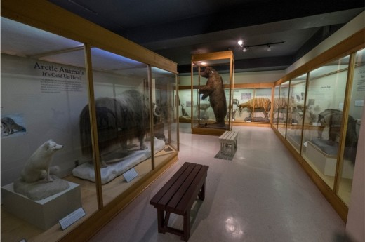 An exhibit at the MSU Museum showing giant bear