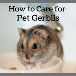 How to Care for Pet Gerbils: Cages, Food, Chew Toys, and More