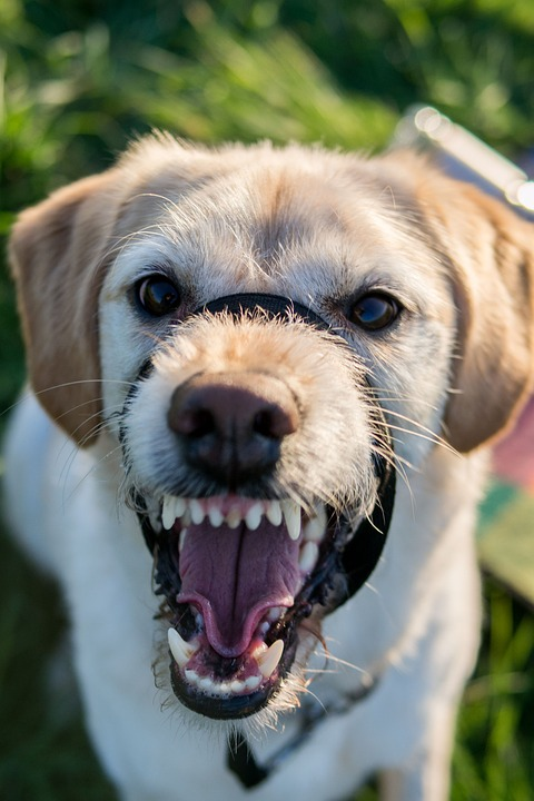 Even a docile Labrador can break bad when mistreated by sketchy dog owners.