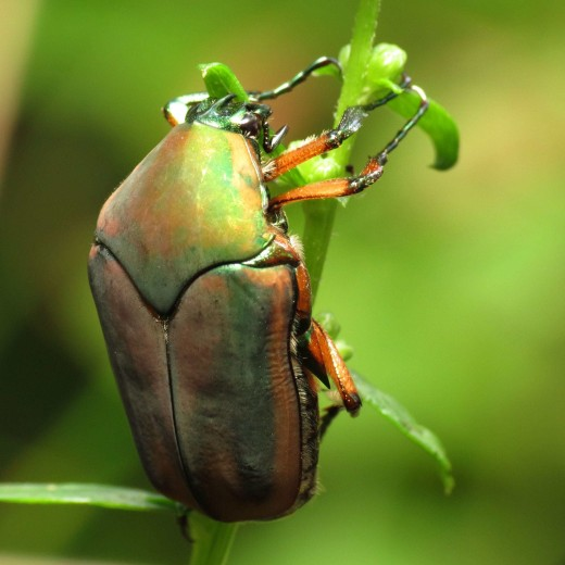 June-bugs Mind Their Business And Do Not Start Trouble With Humans.