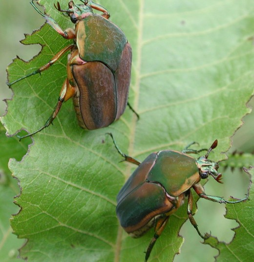 Green June-bugs at peace with Nature.