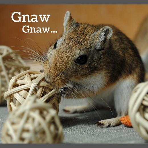 How to Care for Pet Gerbils: Cages, Food, Chew Toys, and