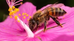 Interesting Facts about the Amazing Honey Bee