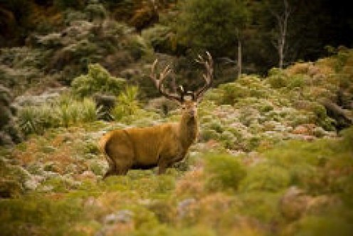 Size matters in the wild. The strongest stag will always gain breeding time with the best hinds. The points (spikes) on the antlers denote age and experience.
