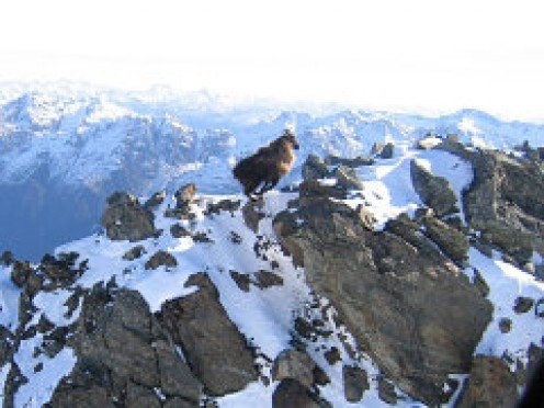 South Island Tahr are literally mountain goats. They are amazing climbers that always enjoy the view from the top of any ridge they frequent. The only problem that they have with climbing to the top; is that once there, there is only one way to go!