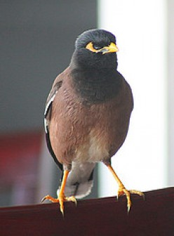 Common Mynah bird