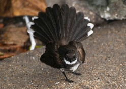 Pied Fantail - the one who likes to come indoors, then can't find his way out.