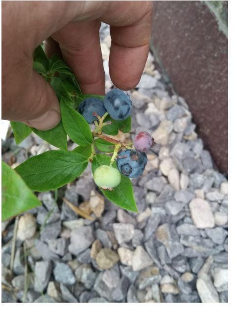 4 blueberries