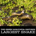 The Green Anaconda: Nature's Largest Snake