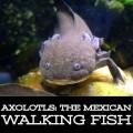 The Axolotl: Mexico's