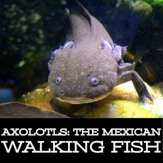 The Axolotl; also known as the Mexican Walking Fish.