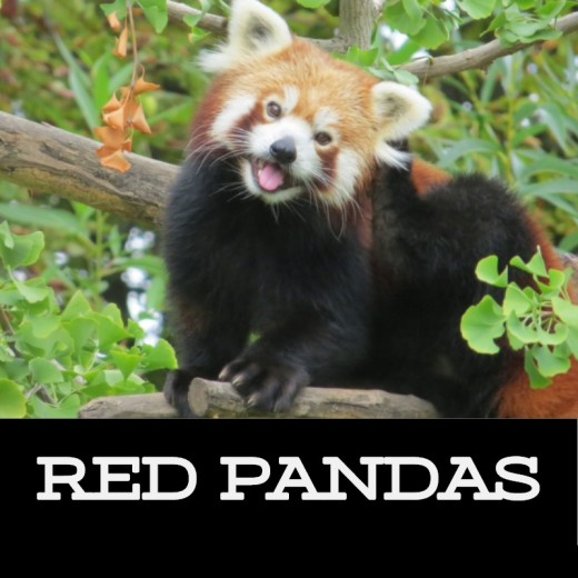Red Panda spotted in tree. Notice the animal's close resemblance to the North American raccoon.