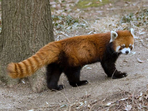 Red Panda in captivity.