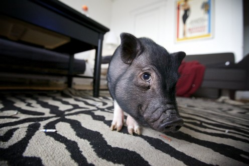 What to Feed Your Teacup Pig