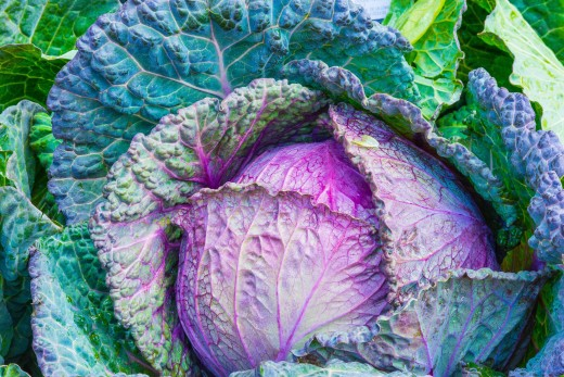 Fresh cabbage leaves are large and colorful.