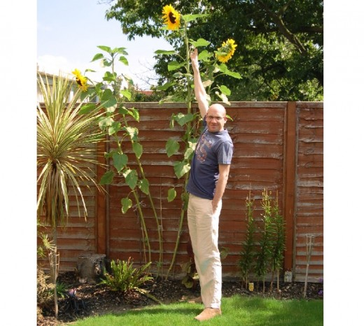 Could this one be tall enough to win a tallest sunflower competition?