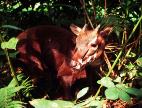 A baby Saola. 'Cause babies are cute.