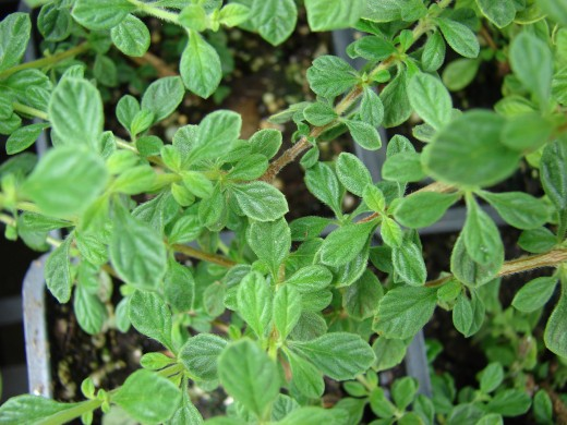 Marjoram - Image courtesy of Forest Starr & Kim Starr http://www.hear.org/starr/