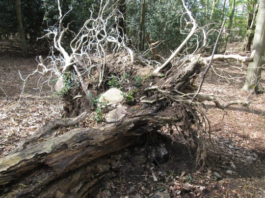"""""""Age shall not weary them..."""" said about soldiers could apply to trees. This trunk has well and truly gone to 'tree heaven'. Divers vegetation and small creatures have laid claim to the 'corpse'. Recycling will run its course..."""