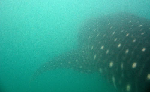 """A picture of the world's largest mammal in the world, the mighty yet gentle Whale Shark, called locally here in the Phillipines """"Butanding""""."""