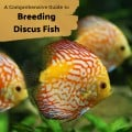 How to Breed Discus Fish: Advice From a Professional Breeder