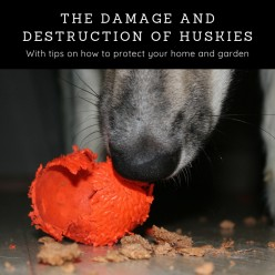 The Destruction Caused by Huskies and What You Can Do About It