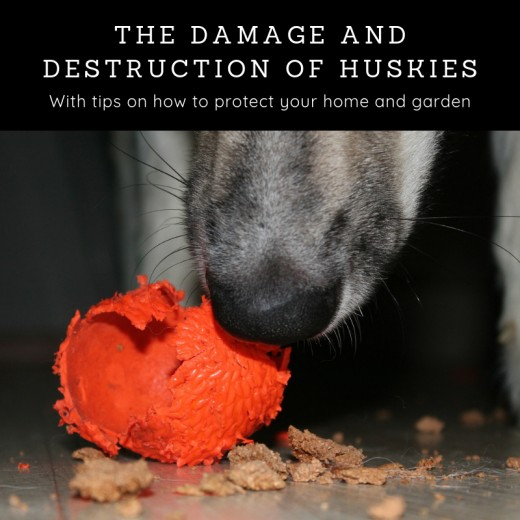 The Destruction Caused by Huskies and What You Can Do About
