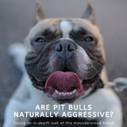 Are Pit Bulls Naturally Mean?