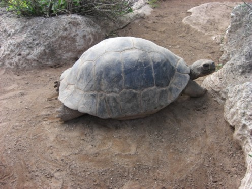 These huge tortise grow very big and can live for over 500 years.
