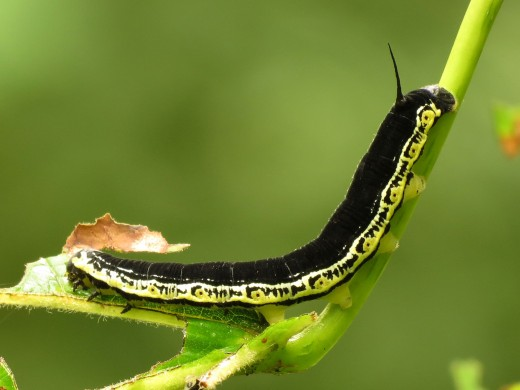 Is your caterpillar more elusive than the catalpa worm? You might be able to find it in the one of the guides below.
