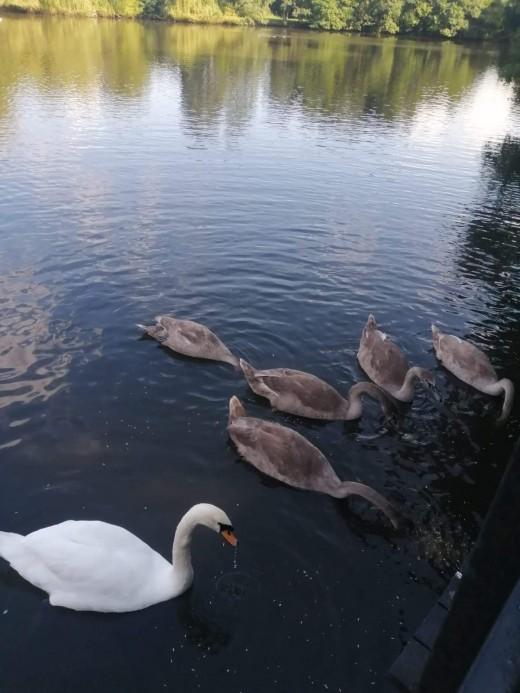 Elmdon's resident Mute Swans courtesy of Paula Harvey