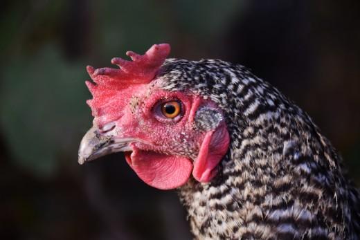 Chicken full of moonshine