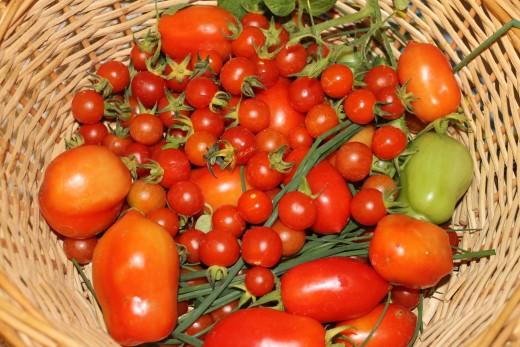 Fresh picked tomatoes, garlic chives, and other herbs
