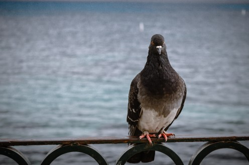 This photo of a pigeon sitting here represents a cleaner version of the album's cover.