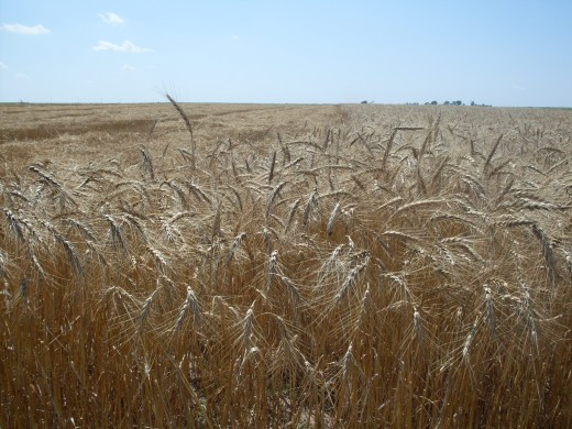 A good stand of wheat. The heads are full and plump, the stalks are healthy and close together.