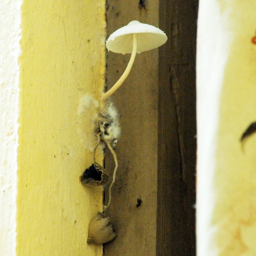 Mushrooms growing on the window frame