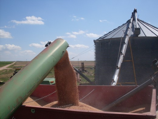 It has its own auger (the black rubber guard is gone off the end), which can fold back along the side of the combine, or can extend out over a truck.