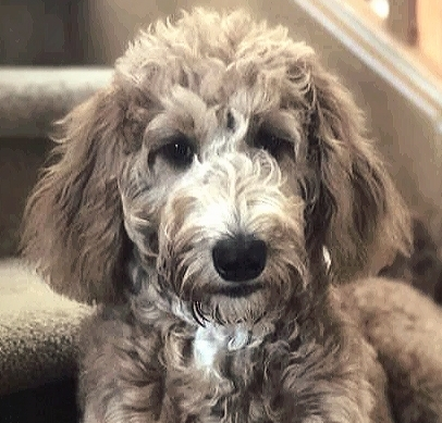 Training a Godendoodle Puppy Can Be a Lot of Hard Work. Have Patience.