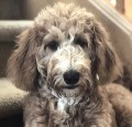 Training Your Goldendoodle Puppy. Sit, Stay, Good Dog.